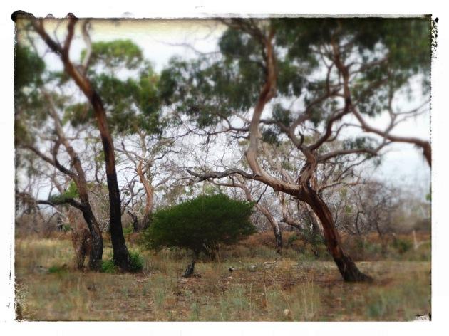 Acacia and Eucalypts