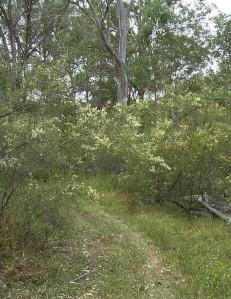 Cumberland Plain Bursaria