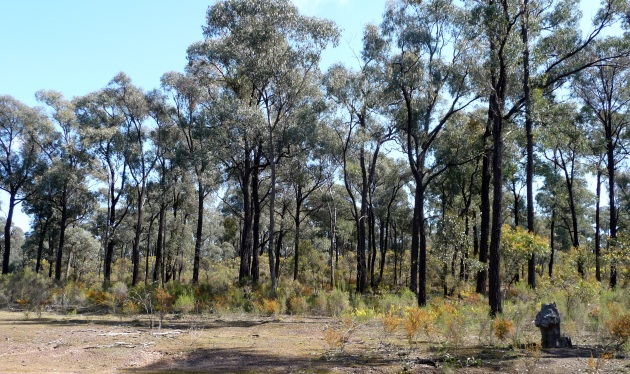 Box Ironbark forest in central Victoria dominated by Red Ironbark (Eucalyptus tricarpa)