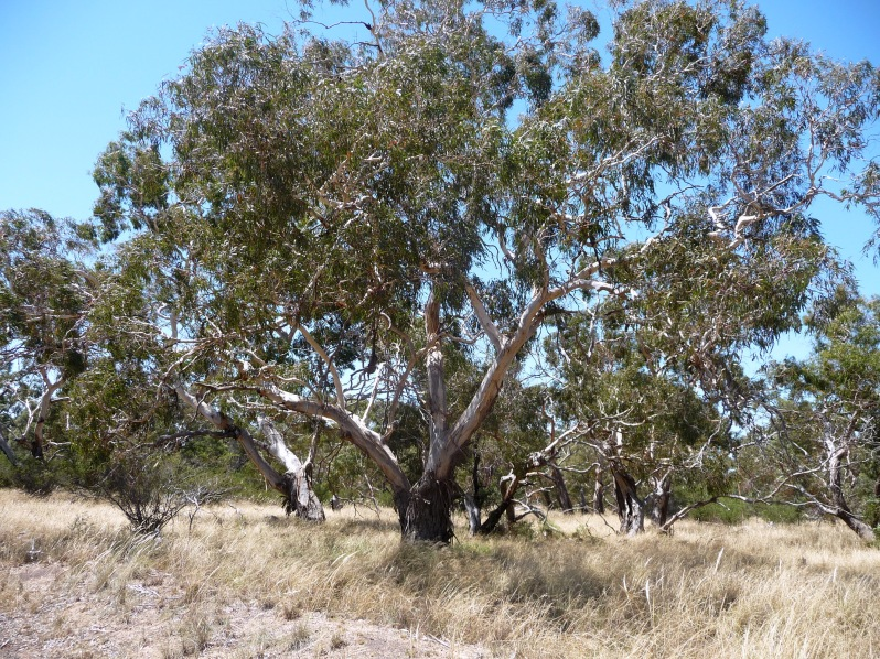 Inverleigh grassy woodland