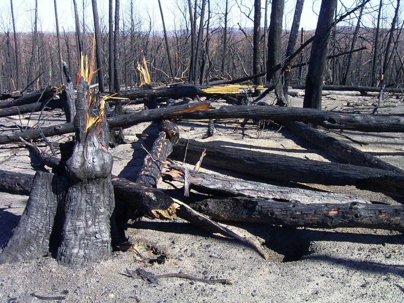 Fire-killed Callitris
