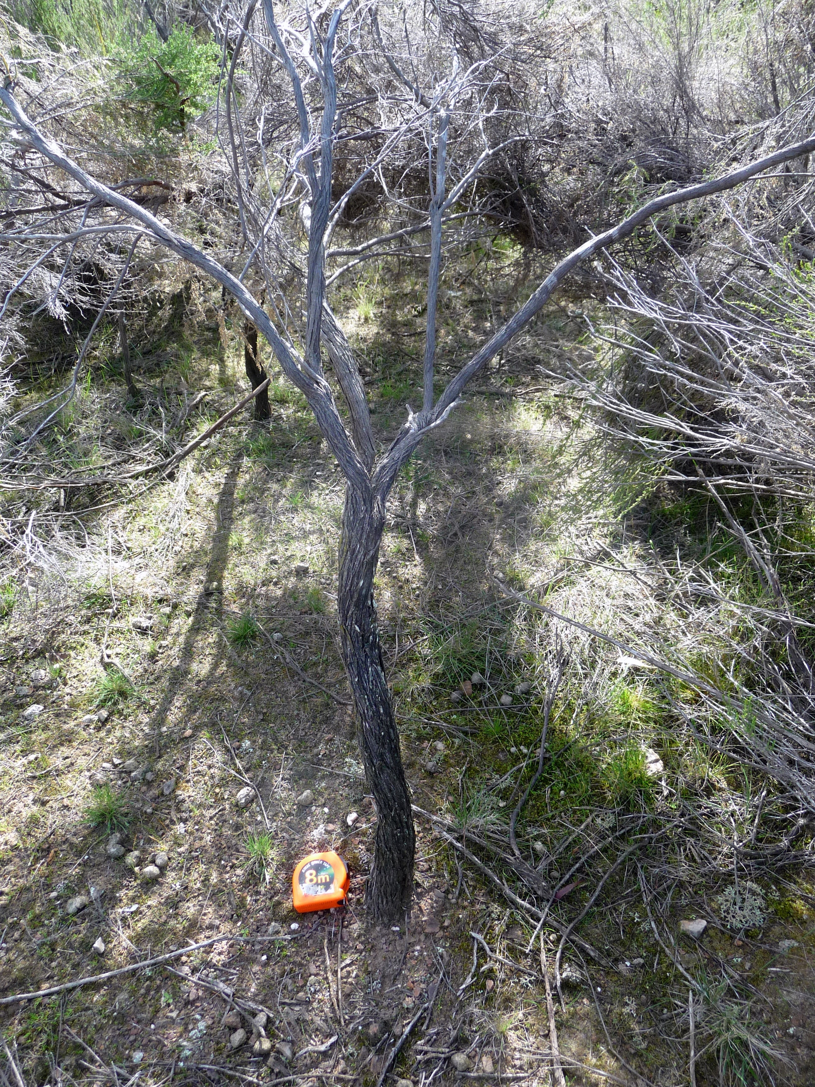 Growing old in a shrubland: gravity always wins