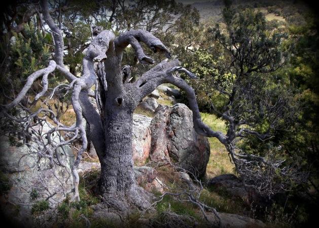 Ancient Banksia Mt Alexander Gill