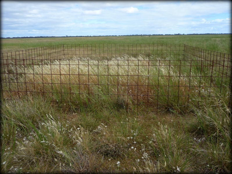 The exotic grass, Wild Oats (Avena barbata) is abundant in an ungrazed, fenced plot at Terrick Terrick National Partk.