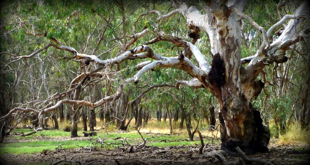 Old red gum 1