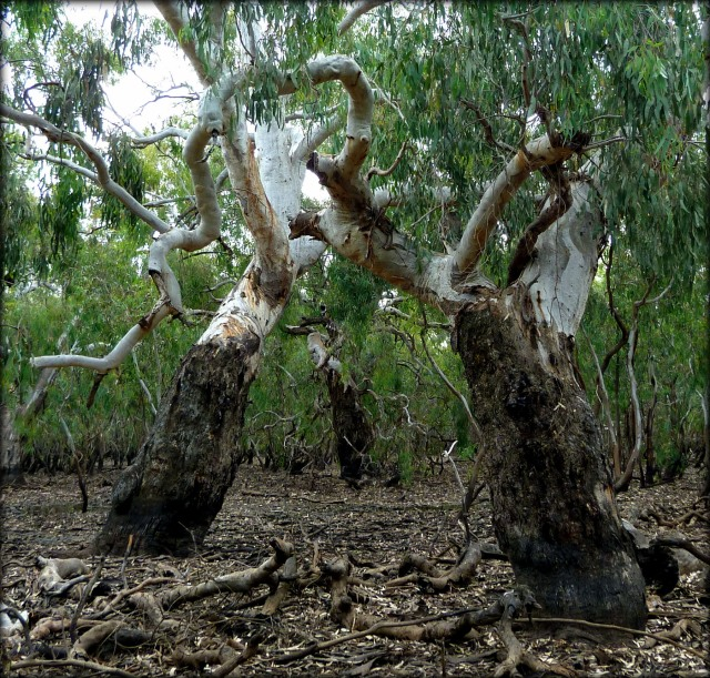 Old red gums 5