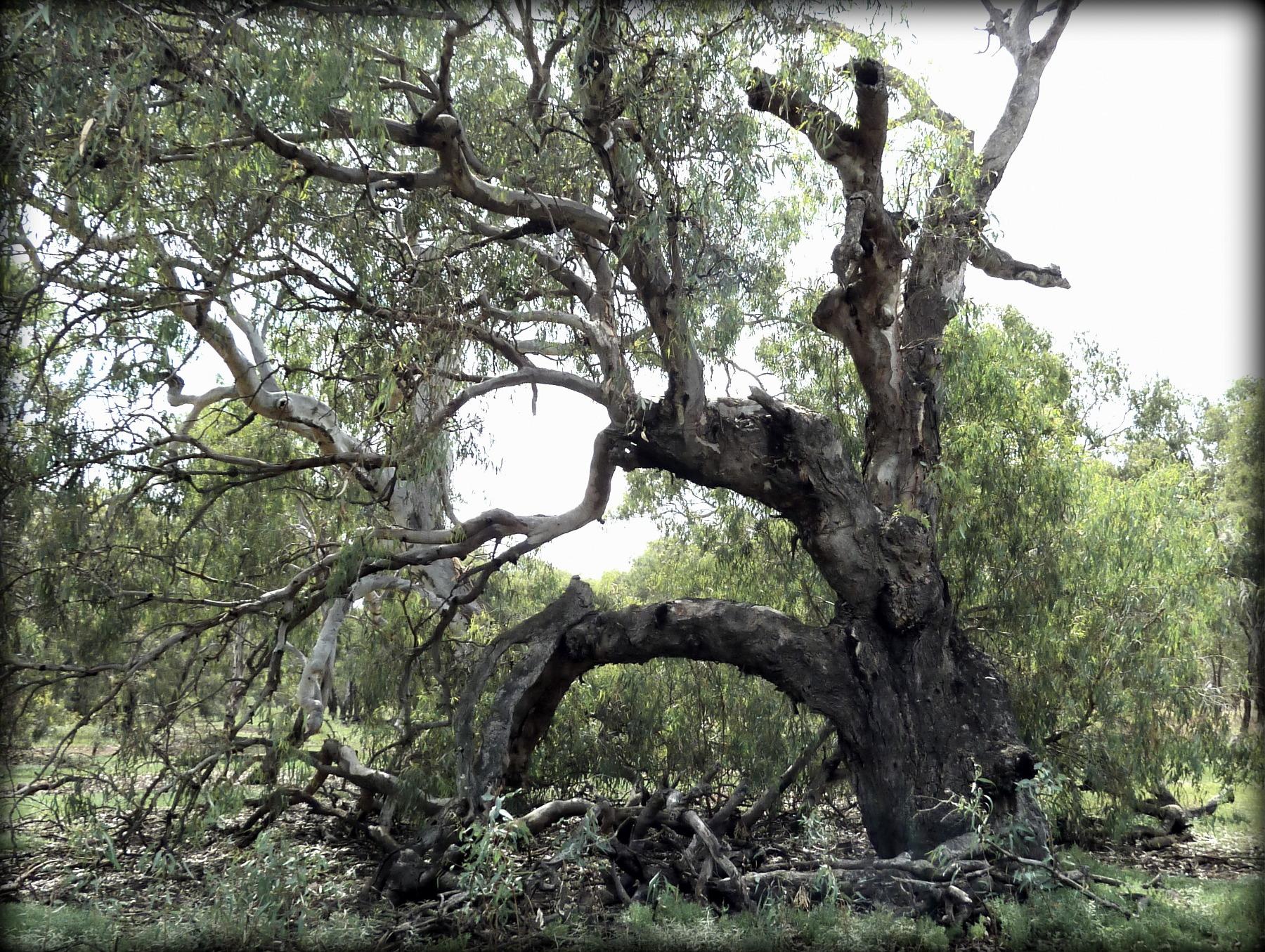 How do you grow a woodland tree?