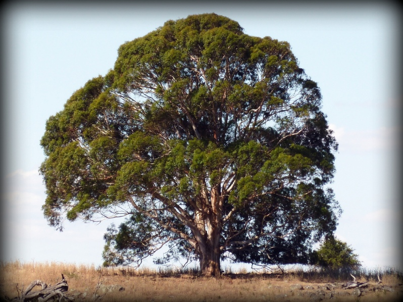 woodland tree