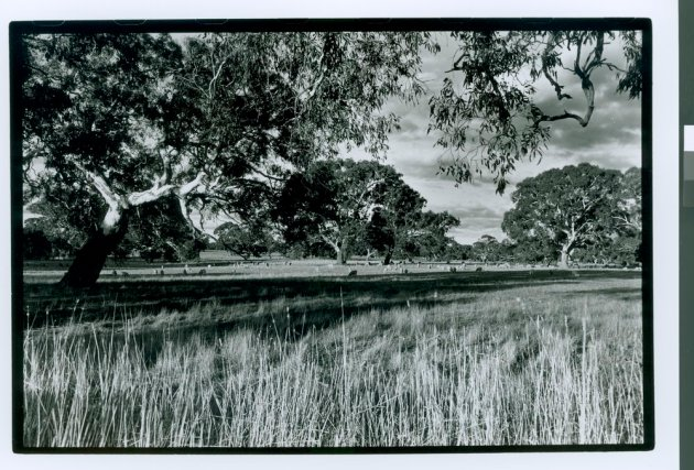 Beautiful old red gums dominate the grassy woodlands of Dunkeld. The red gum photos are by Richard Crawley and are taken from the National Library of Australia's Trove website.