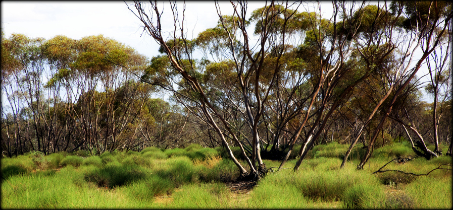 Ageing the mallee: a history in burnt trees
