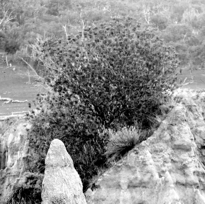 Gabriel Knight Banksia