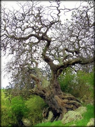 Silver Banksia W Vic 1