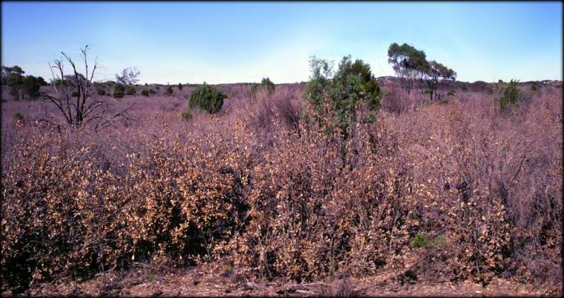 Banksia ornata heathland Wyperfeld 1982 Cheal