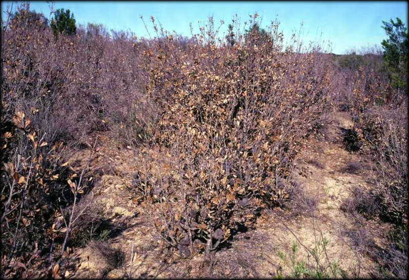 Frost killed Banksia ornata Wyperfeld 1982 Cheal