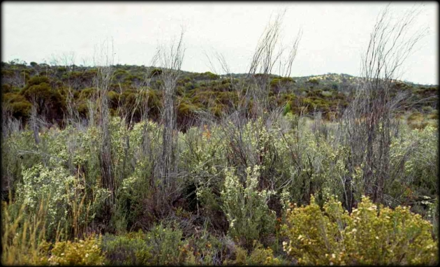 Leptospermum coriaceum frost regrowth 1992 Cheal