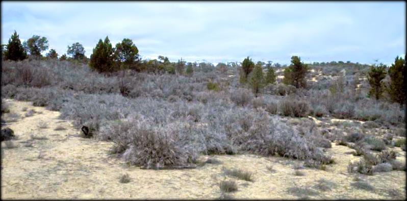Leptospermum coriaceum Tea-tree Heath Wyperfeld 1982 Cheal