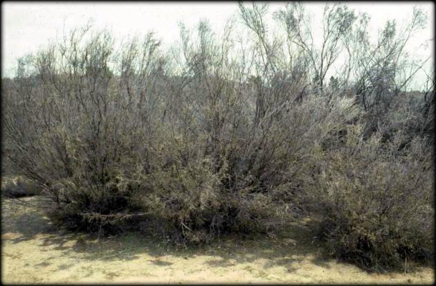 Leptospermum coriaceum Wyperfeld 1982 Cheal