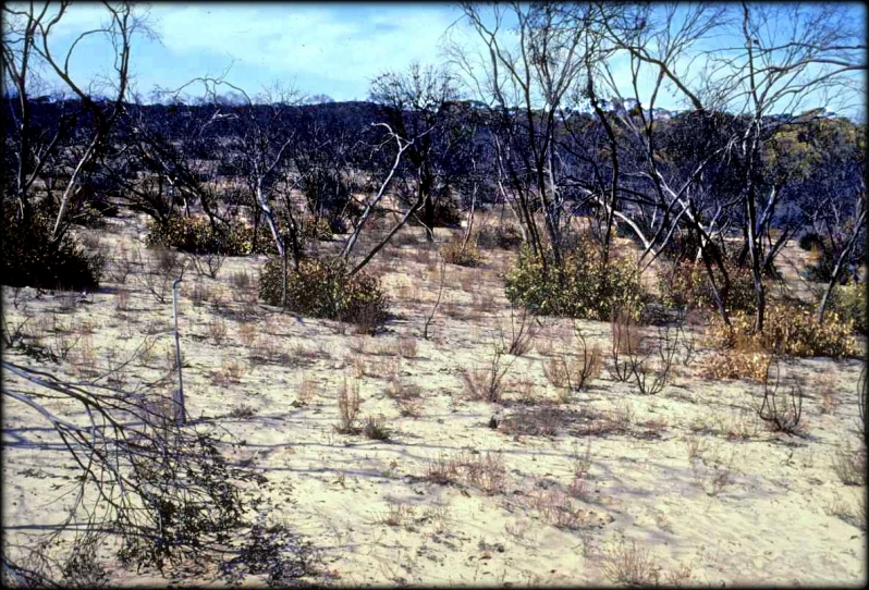 Mallee Swale Eucalypts Wyperfeld 1982 Cheal