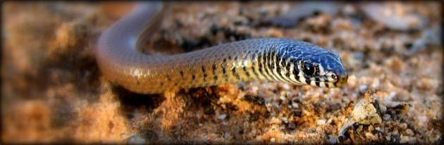 The Southern Legless Lizard, Delma australis. Original photo courtesy of the Mallee fire & biodiversity team.
