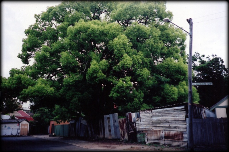 New home owners often remove old trees, especially exotics and environmental weeds like this old Camphor Laurel. Photo by Vanessa Berry, Source:Mirror Sydney.