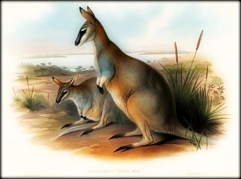 The extinct Toolache Wallaby, as painted by John Gould. Source:  Wikipedia.