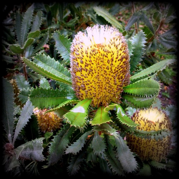 Banksia ornata, the Desert Banksia. Original photo from  The Phytophactor.