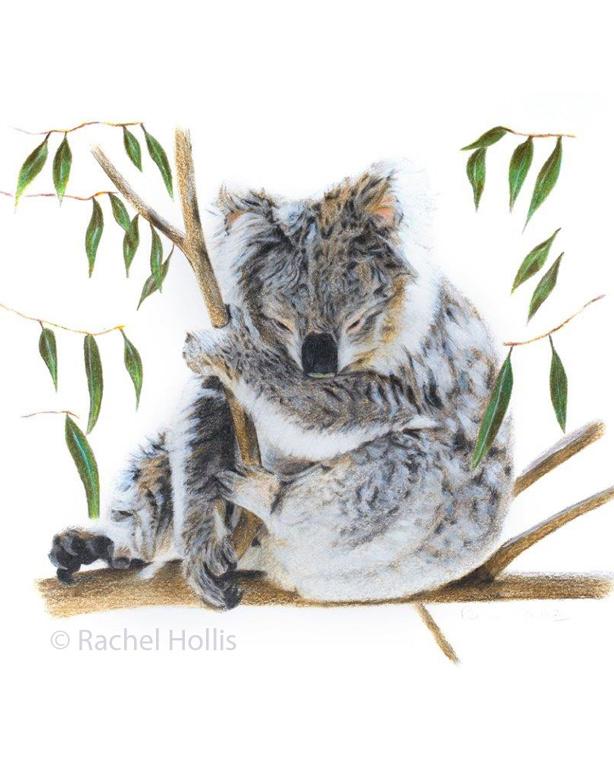 Koala11